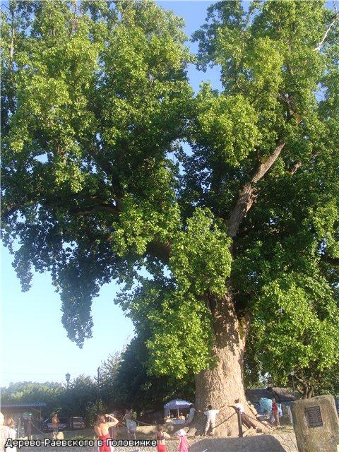 Тюльпанное дерево родом из Южной Америки. По легенде посажено Раевским в 19 веке. Крупнейшее в регионе. Недалеко от Головинки.